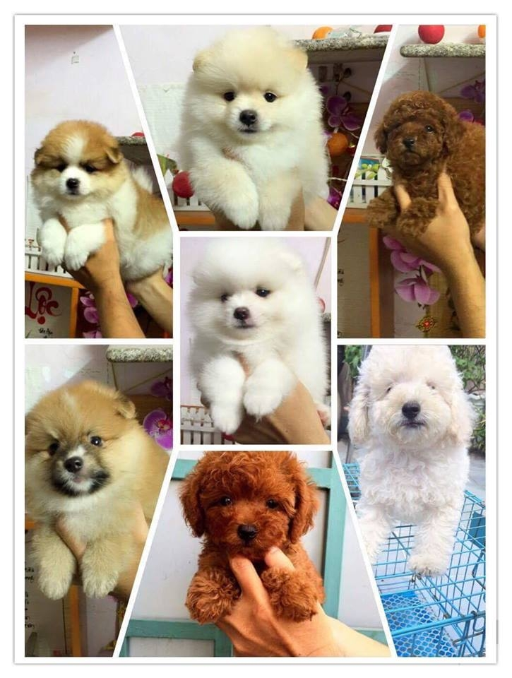 Cún ở cửa hàng Bin Bon Dog Shop